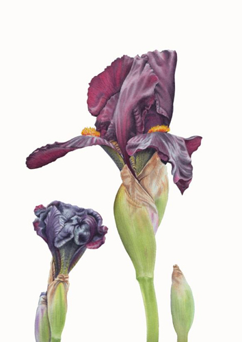 PollyO'Leary Black Iris Watercolour