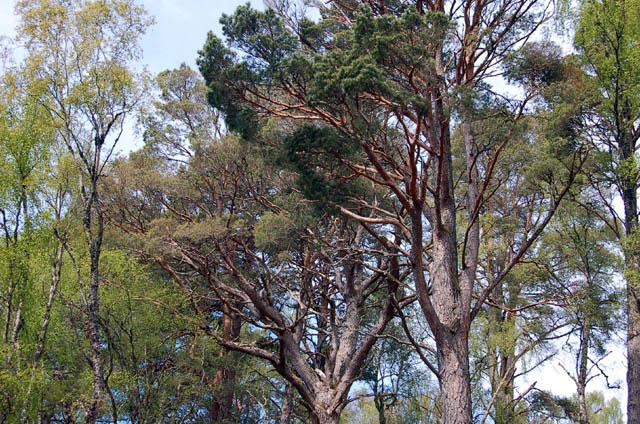 Fig-1.-Caledonian-forest.-Dundreggan
