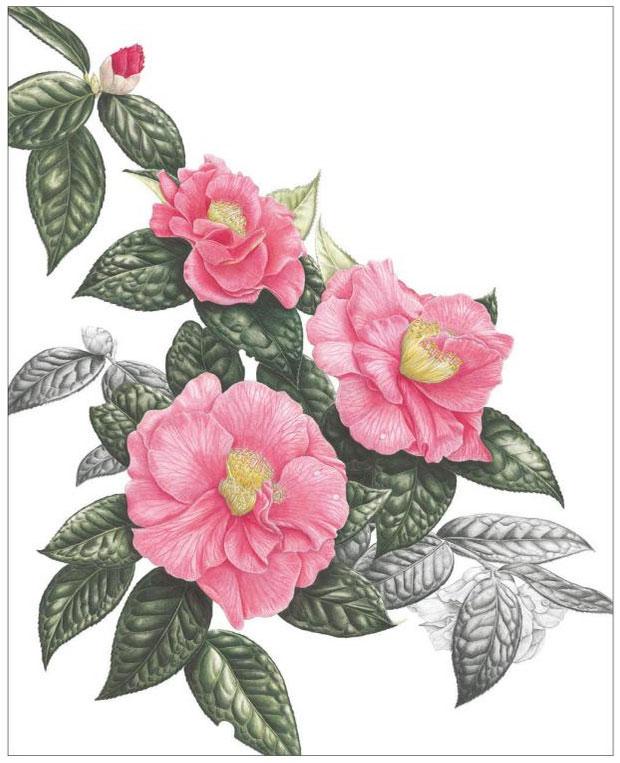 Ann Swan Pink Camellias 50x36cm