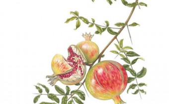 Ann-Swan-Pomegrante