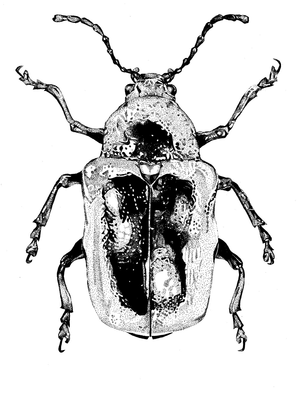 Natalie mcintyres meticulous beautiful insect drawings jacksons