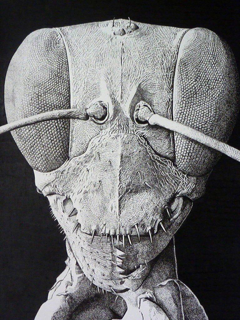 Solenopsis mandibularis Ink on paper 30cm x 40cm 2011 Natalie McIntyre