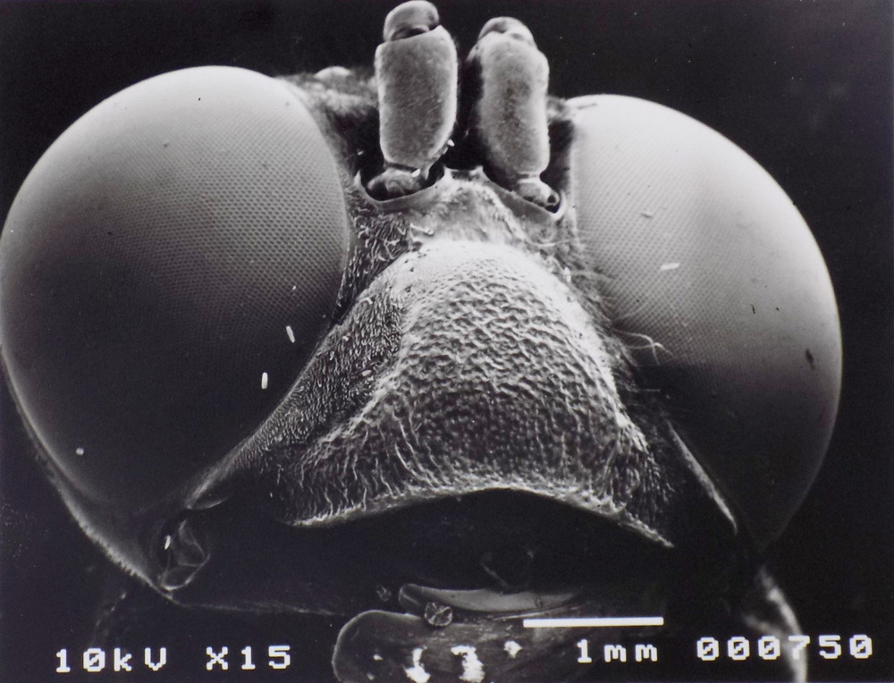 Vespa crabro Electron Micrograph 100cm x 70cm 1999 Natalie McIntyre