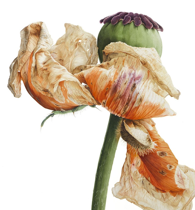 'Fading Beauty' by Vivienne Rew Description: Number 5 in a series of 6 paintings titled 'Metamorphosis – Life cycle of Papaver orientale' Medium: Winsor & Newton Watercolours and Schmincke Watercolour on paper, 45x45cm