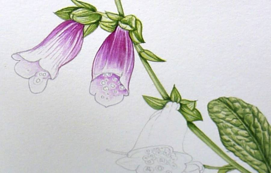 Foxglove illustration on Stonehenge Aqua, getting colour on the flowers (apologies, it's a little out of focus)