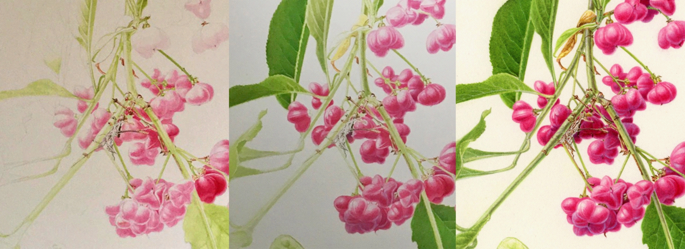 Sandra Doyle, Spindle In progress, Ruskin's Footsteps, Worldwide Day of Botanical Art