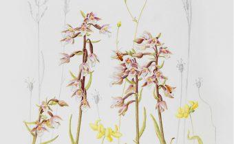 Claire-Ward_Epipactis-palustris