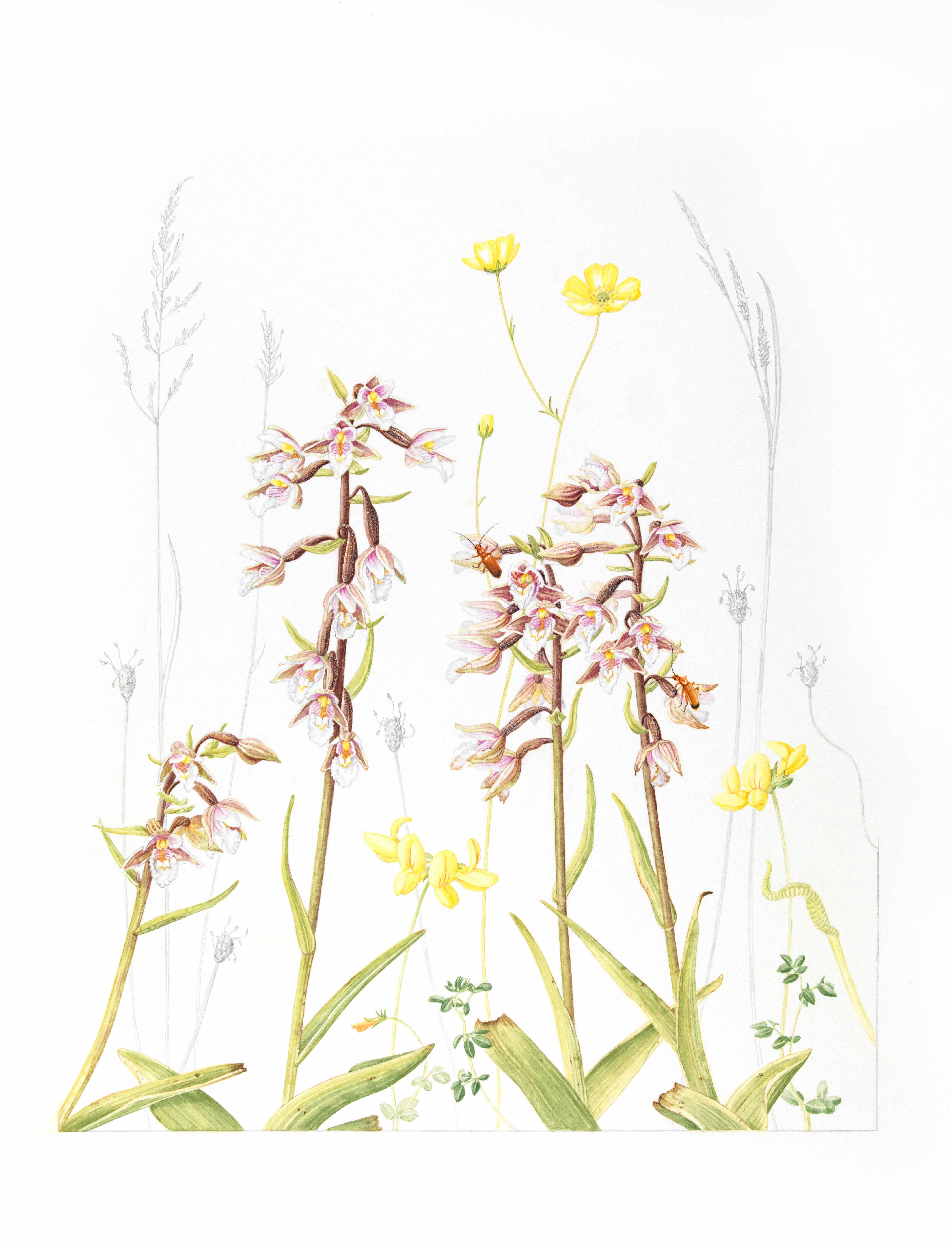 Claire Ward, Epipactis palustris, Ruskin's Footsteps, Worldwide Day of Botanical Art