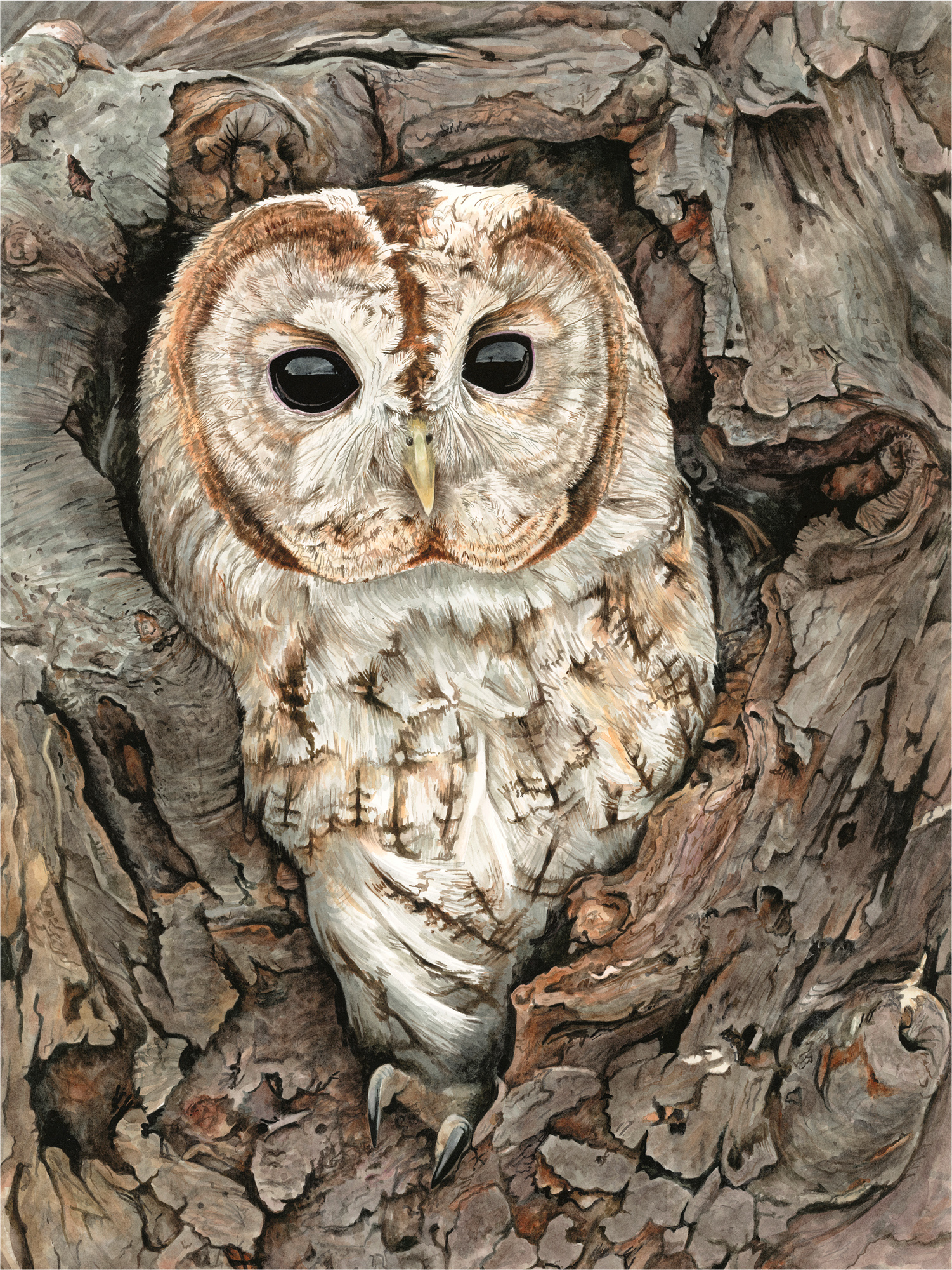 Tawny Owl Anna Mason Watercolour on Illustration Board, 36cm x 49cm, 2015