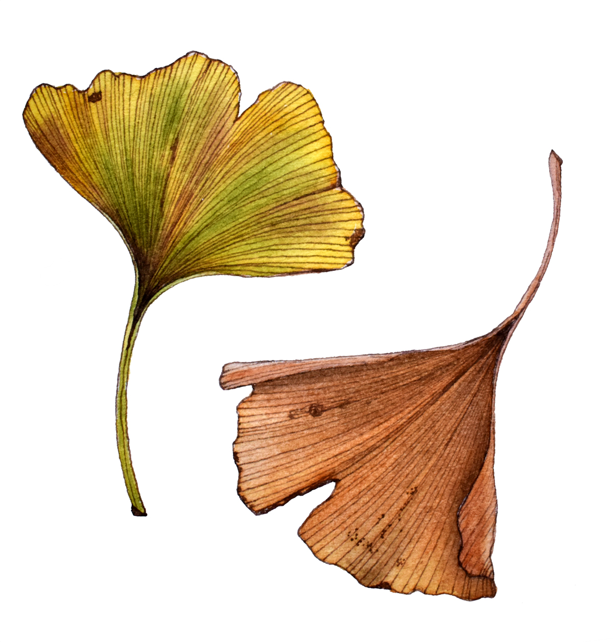 Ginkgo biloba: These leaves were painted with the Princeton synthetic squirrel. The soft bristles slightly teased the ink lines, blending them without erasing them.
