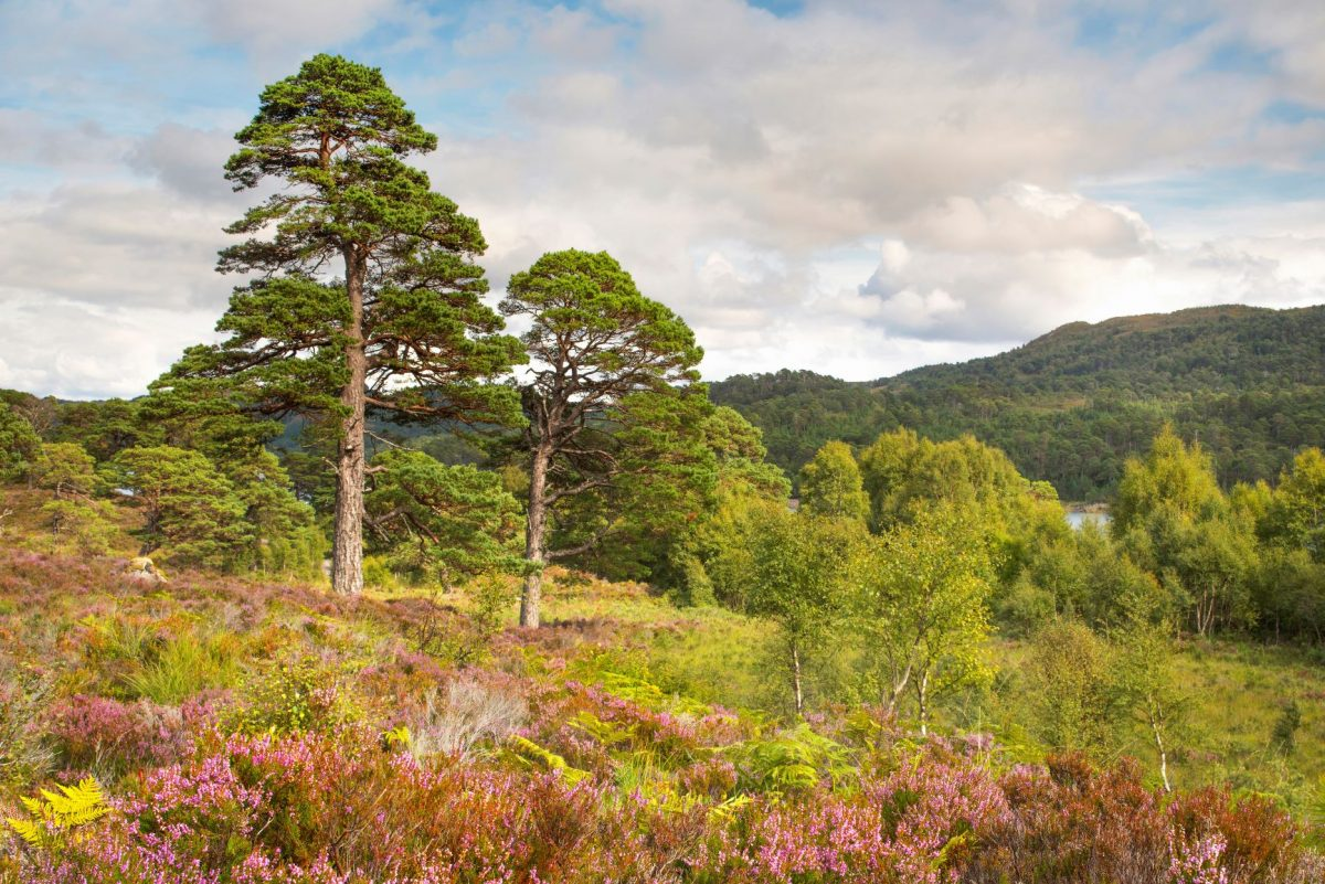 Trees for Life Scots Pines at Glen Affric - Photographer: Grant Willoughby