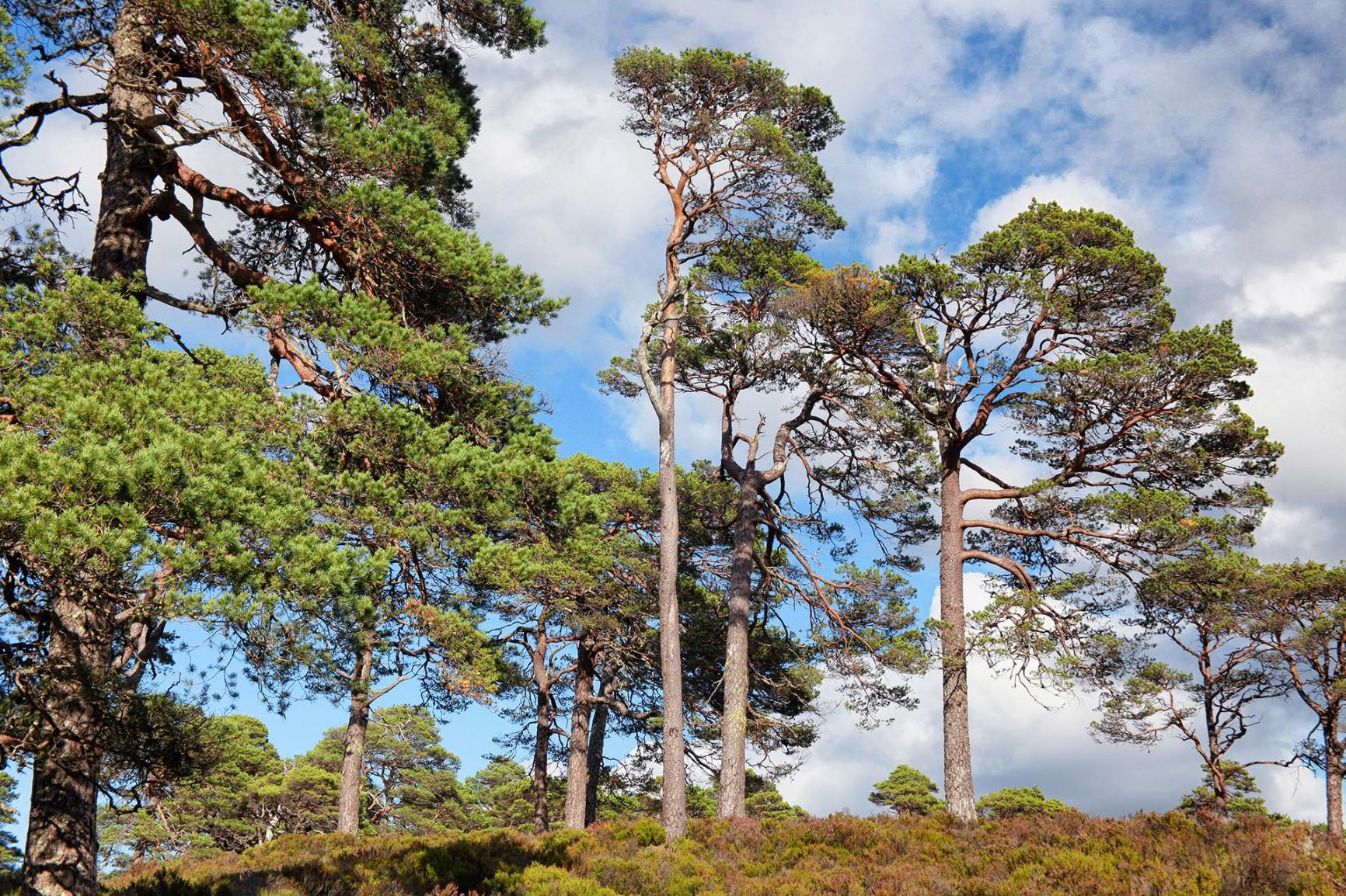 Scots Pines - Photo: Trees for Life