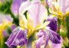 Amethyst Iris. Krzysztof Kowalski. Jackson's Painting Prize.