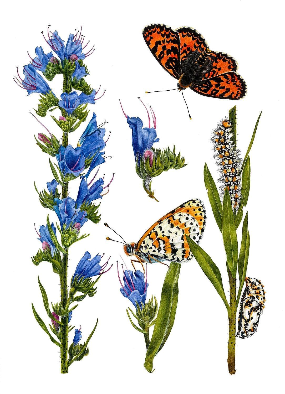 Echium Vulgare and Melitaea Disyma. Krzysztof Kowalski. Jackson's Painting Prize.