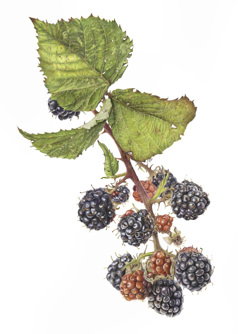 'Sian Phillips. Rubus fruiticosus. Blackberry', Carolyn Phillips, Faber Castell Polychromos coloured pencil on Arches paper, 42 x 30 cm