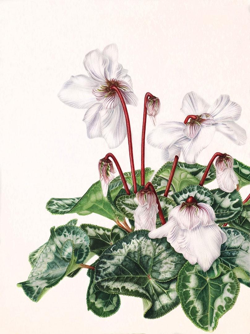 'Cyclamen', Nadya Deeva, Watercolour on paper, 41 x 31 cm