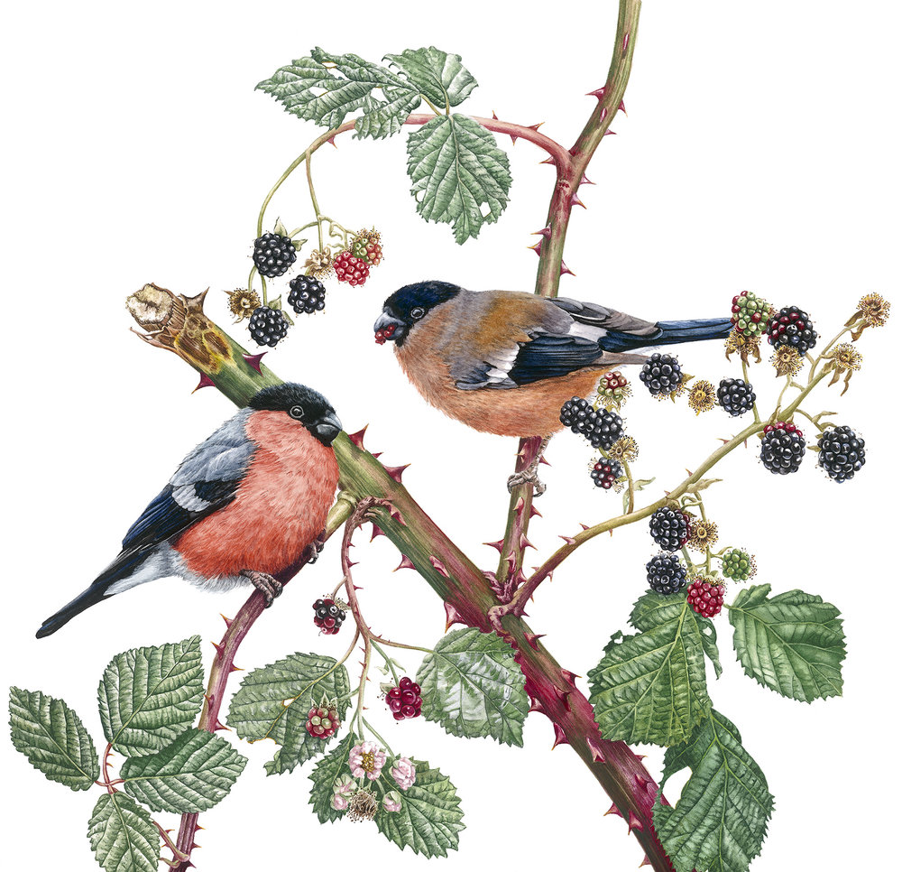 'Bullfinches and Blackberries', Zoe Norman, Watercolour, 36 x 41 cm
