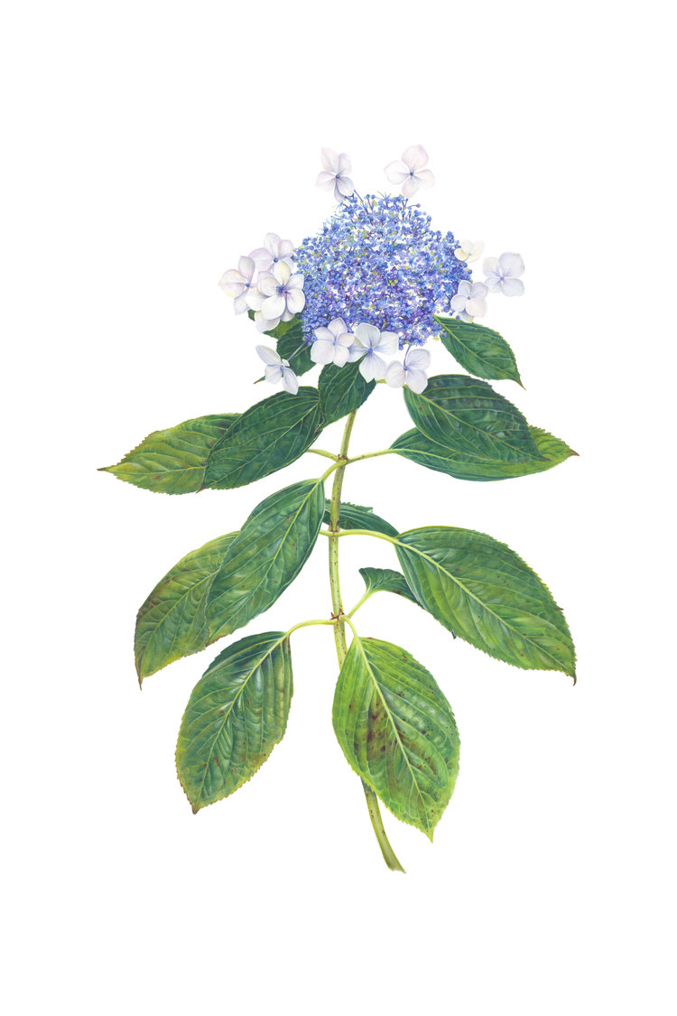 'Hydrangea Lacecap', Sarah Jane Humphrey, Gouache and colour pencil crayon, 35 x 52 cm