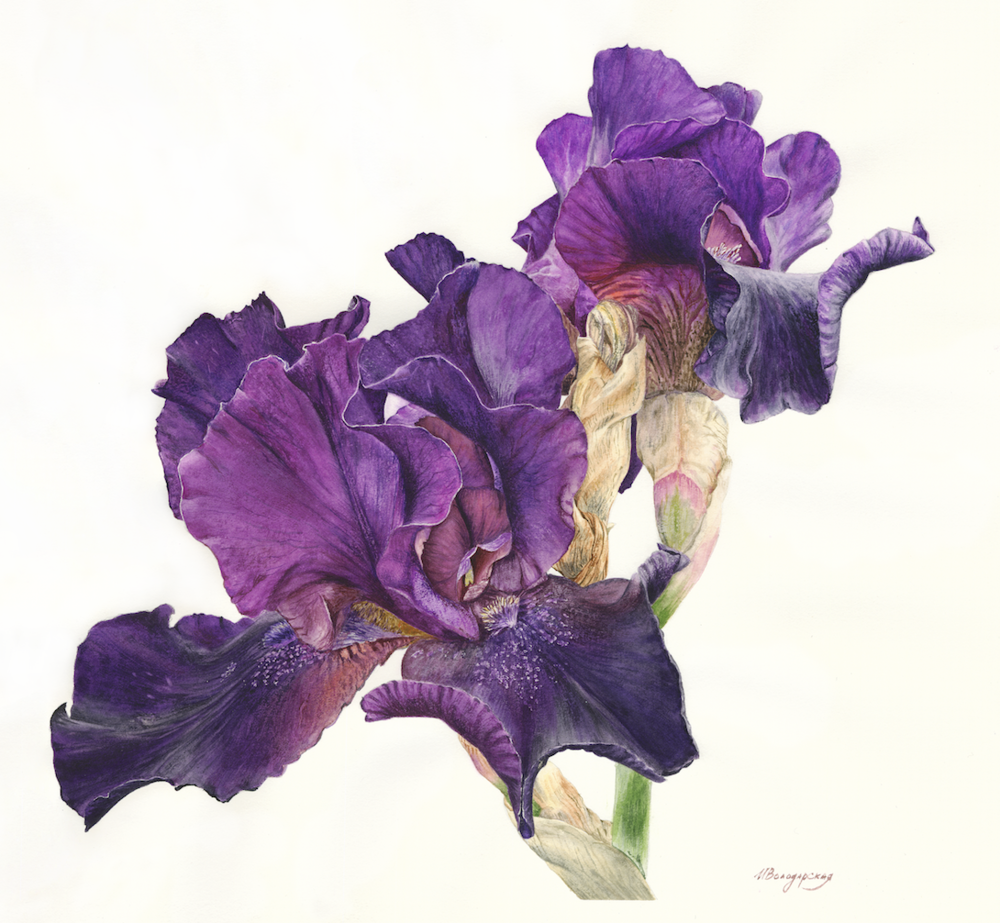 'Iris', Irina Volodarskaya, Watercolour on paper, 36 x 38 cm