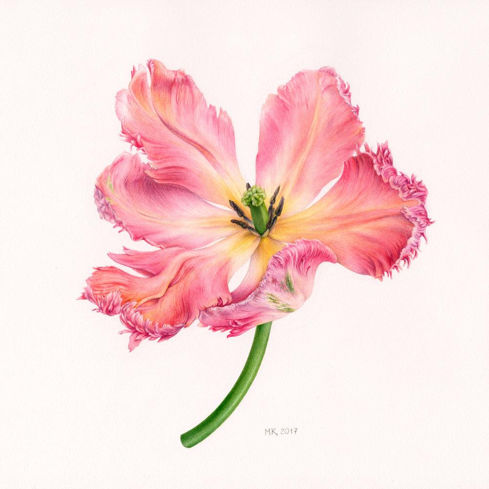 'Apricot Parrot Tulip', Marina Kiselyova, Watercolour on paper, 30 x 30 cm